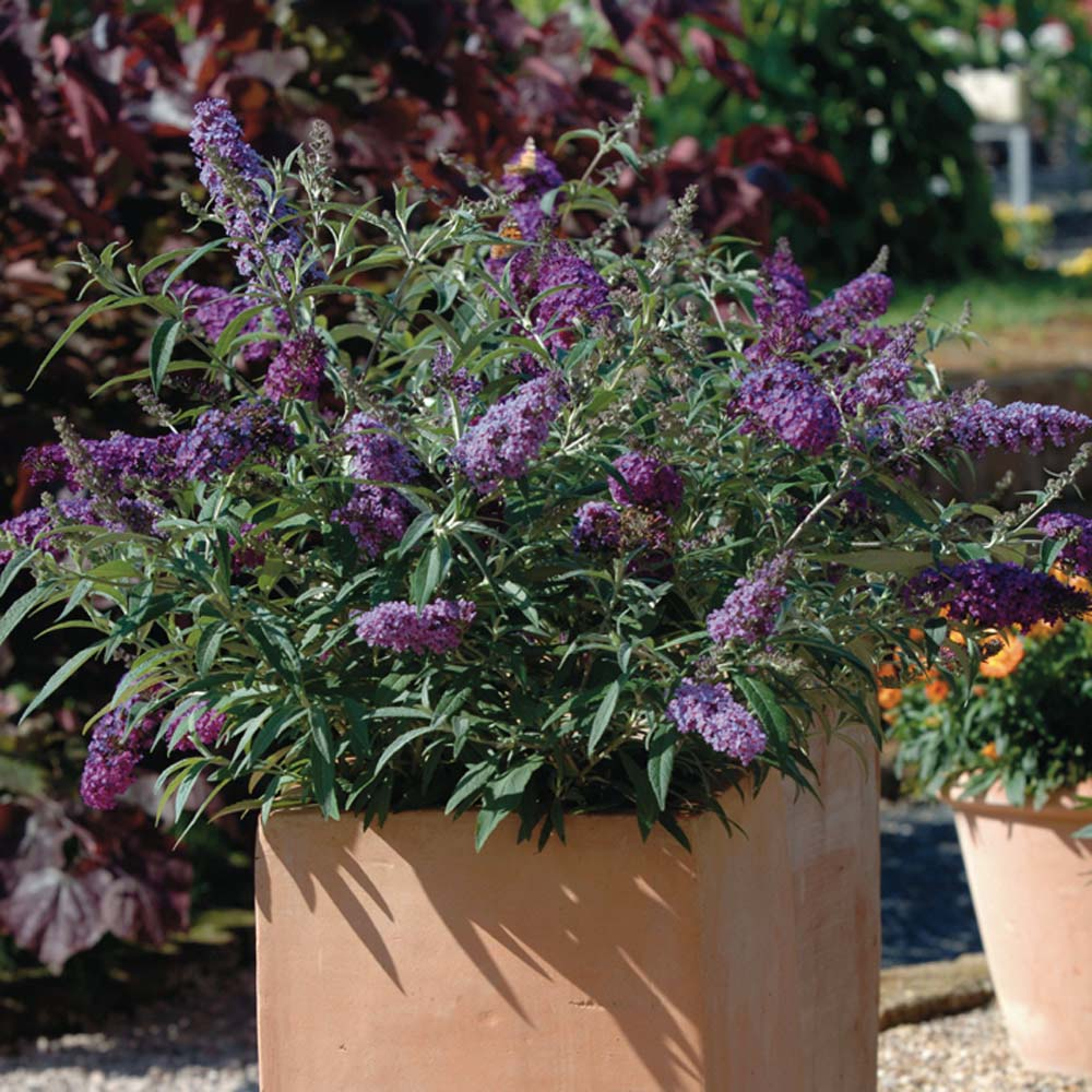 plant of the week buddleia